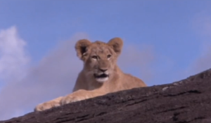 superior lion cub
